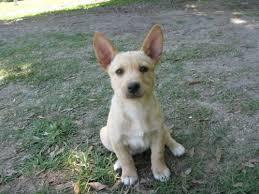 corgi lab mix puppies.  Lab CorgiLab Mix I Want Her Corgi Lab Mix Puppies To S