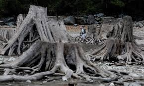 amid drought rattlesnake lake reveals its roots the seattle times drought has caused rattlesnake lake s level to drop nearly 29 feet exposing old growth