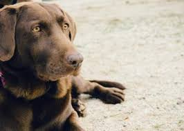 Canine Lymphoma Symptoms Dog Cancer Symptoms Diagnosis Treatment Rau Animal