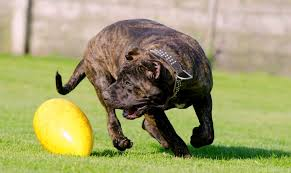 Presa Canario Weight Chart 5 Things To Know About The Presa Canario