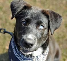 husky black lab mix puppy. Simple Mix Siberian Husky Labrador Mix In Black Lab Puppy R