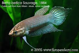 Jenis Ikan Cupang Ekor Kuning
