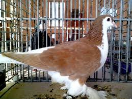Light Brown And White Pigeon Free Picture White Brown Pigeon Bird Up Close Posing