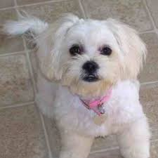 best 50 small dog breeds for apartments page 3 of 5 platpets