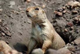 garden moles. Gophers And Moles Dig Tunnels That Can Ruin Your Yard. Garden