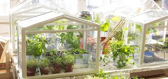 grow fresh herbs veggies indoors with a tabletop greenhouse