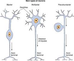 Types Of Neurons Observe Pseudounipolar Neuron With A Sing Flickr