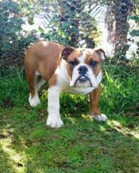 view the full image australian bulldog 3 jpg
