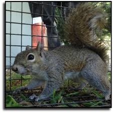 Image result for squirrel removal services