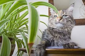 spider plant for cats why do they