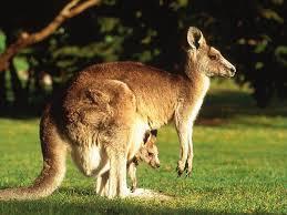 ЭНДЕМИКИ АВСТРАЛИИ ФОТО ЖИВОТНЫЙ МИР АВСТРАЛИИ Рыжий кенгуру red kangaroo 2