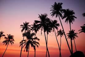 palm trees tumblr. Coconut Trees During Sunrise Palm Tumblr