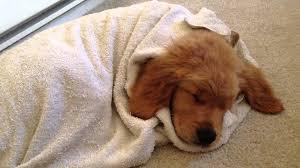 golden retriever puppies sleeping. Fine Puppies For Golden Retriever Puppies Sleeping L