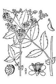Plants Profile for Filipendula ulmaria (queen of the meadow)