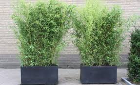 Phyllostachys aurea Phyllostachys aurea grove Phyllostachys aurea containers.  Bamboo, Foliage Plants ...