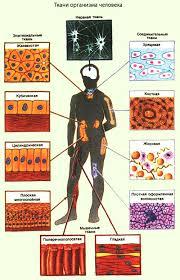 Общий обзор организма человека Ткани организма человека