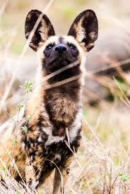 african wild dog an essay on an endangered species bundu mafasi ©roel van muiden wild dog part of the large wild population located in kruger