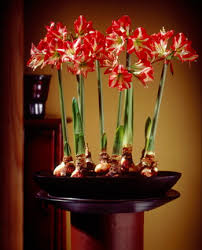 Image result for photos amaryllis