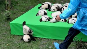silly baby panda falls flat on its face during public debut of 23 giant panda cubs in china abc news