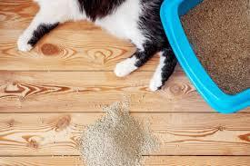 bệnh viêm đường tiết niệu ở mèo