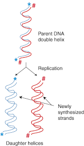 dna replication and repair dna replication figure % the semi conservative nature of dna replication