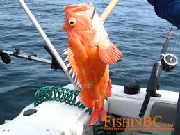Rockfish Identification Chart Rockfish Id Free Access To The Best Online Document