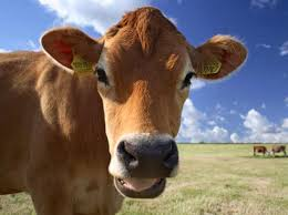 brown cow face. Interesting Face Brown Cow Face  Photo19 And Cow Face C