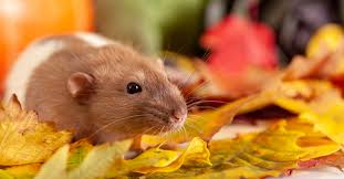 6 ways to keep rats out of your garden