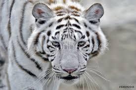 Fotografie Obraz Vedoucí Bílý Tygr Bengálský Tygra Indického