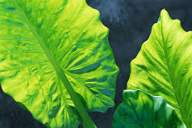 African Mask Plant Light Alocasia Plant Care And Growing Guide