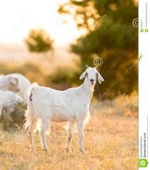 Light Livestock Goats Grazing In Field Stock Image Image Of Light
