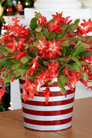best office plant no sunlight. christmas cactus best office plant no sunlight h