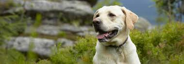 Labrador Size Chart By Age Labrador Retriever Dog Breed Facts And Traits Hills Pet
