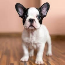 black and white french bulldog. Fine French Black And White French Bulldog Puppy Throughout Black And White French Bulldog G