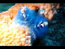 CRINOIDS FEATHER STARS SEA LILIES SPONGES SEA SQUIRTS AND Christmas Tree Worm Facts