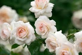 """Attēlu rezultāti vaicājumam """"dārza rozes"""""""