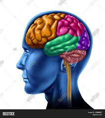Brain Chart Human Brain Chart Image Photo Free Trial Bigstock