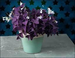 house plant with purple flowers purple shamrock houseplants house plant with small purple flowers