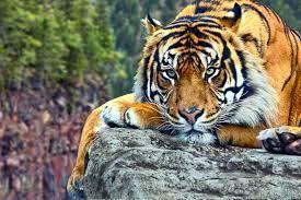 Best 32+ Tiger Backgrounds for Computer ...