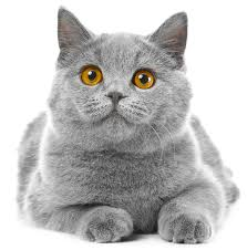 british blue cat a complete guide to