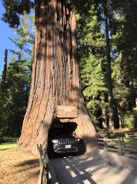 chandelier drive through tree chandelier tree leggett ca