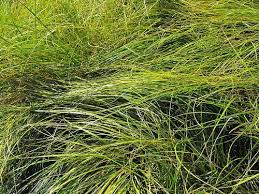 Clustered Field Sedge, Carex praegracilis