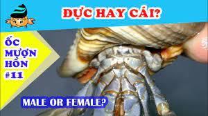 Ốc mượn hồn #11 - Cách phân biệt ốc mượn hồn đực cái (How to determine  hermit crab gender) - YouTube