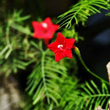flying lawnmower vine. 100 red star glory seeds perennial cypress vine flower climb plant bonsai diy home garden baclcony flying lawnmower