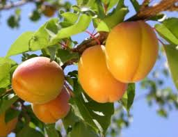 58 Best Orchard Images On Pinterest  Fruit Trees Orchards And Plum Fruit Tree Varieties
