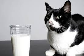 Why Cant Cats Drink Milk Plus 6 Other Feline Myths Bbc