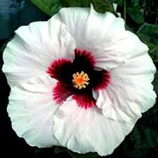 hibiscus flowers hidden valley hibiscus hibiscus pigments why do hibiscus flowers