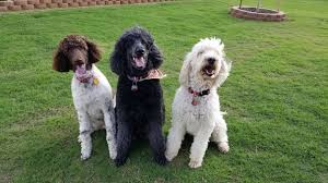 about oklahoma doodles bernedoodle puppies in tulsa oklahoma texas colorado