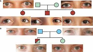 Eye Color Recessive Dominant Chart Inheritance Of Eye Colour In A Non Mendelian Fashion The