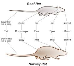 Rat Chart How To Get Rid Of Rats